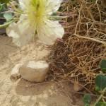 Sandiger Boden, weisse Kapernbuschblüte